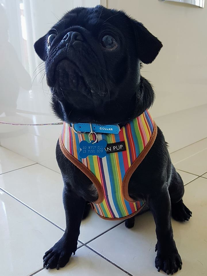Urban Pup Henley Striped Harness I Love Pugs