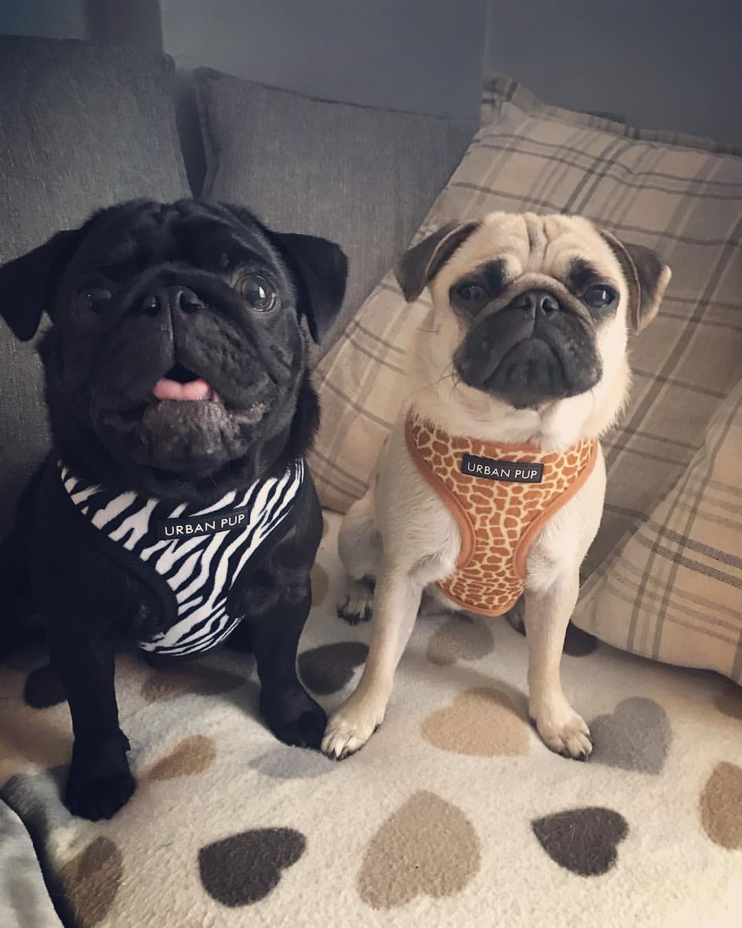 Urban Pup Zebra Print Harness I Love Pugs