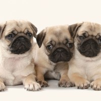 Cute pug Puppies Blank Card