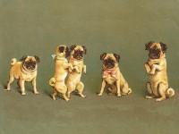 Five Pug Vintage Blank Card