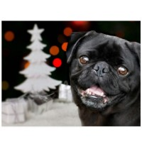 Smiling Black Pug Christmas Postcard