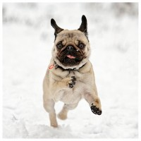 Pug In Snow Christmas Card