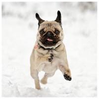 Pug In Snow Christmas Card