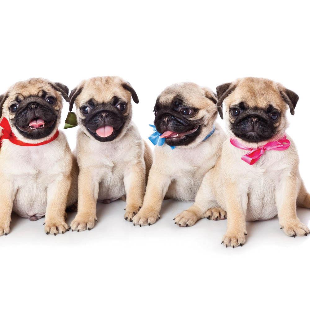 Pug Puppy Blank Card | I Love Pugs