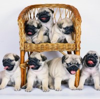 Six Pug Puppies Blank Card