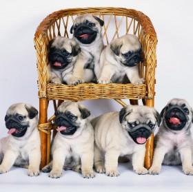 Six Pug Puppies Blank Card