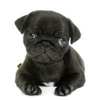 Cute Black Pug Puppy Card