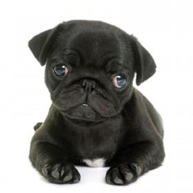 Cute Black Pug Puppy Card
