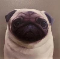 Cute  Pug Blank Card