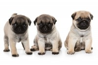 Pug Puppies Blank Card
