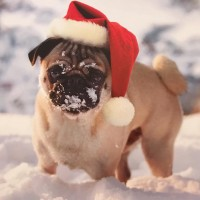 Cute Snow Pug Christmas Card